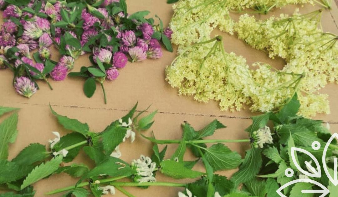 Jakie łatwo dostępne zioła możesz zbierać wczesnym latem?